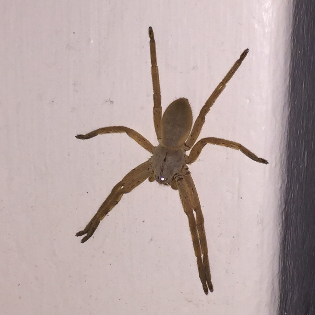 You need a GIANT AFRICAN SPIDER!!!